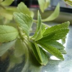 300 mal süßer als Zucker und keine Kalorien – Stevia das Wunder-Süßkraut